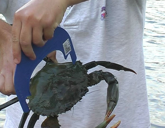 Mud crab measure carapace